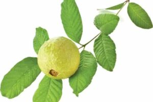 How to make teeth stronger with guava leaves